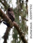 Small photo of Young Boreal owl in the forest.Aegolius funereus. Tengmalm's owl.