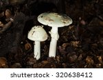 Mushroom  Amanita Citrina Macr...