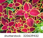 Small photo of Red Coleus plant with yellow edges closeup on a flower bed, view from above
