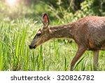 A Cute Deer Grazing In A Local...