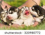 four puppies siberian husky.... | Shutterstock . vector #320980772