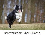 A Purebred Border Collie Dog...