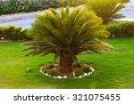 Good Looking Sago Palm Trees...
