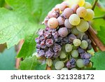 noble rot of a wine grape ... | Shutterstock . vector #321328172