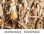 Drooping Ear Of Autumn Corn  ...