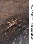 Small photo of Pardosa lugubris