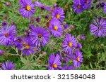 Purple Aster Flowers In Bloom...