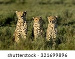 Three Cheetahs Sitting ...