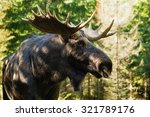 Small photo of Portrait of a moose bull (Alces alces) seen from slightly below. Moose is very close and out to the side.