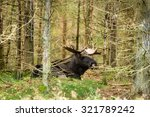 Large Moose Bull  Alces Alces ...