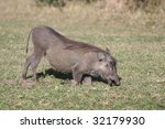 a warthog kneels to eat in the... | Shutterstock . vector #32179930