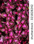 Small photo of abstract of colorful coleus plant in the garden