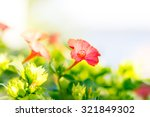 Mirabilis Red Flower With A...