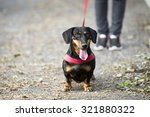 Stock photo  beautiful dog with leather leash 321880322