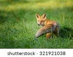 Red Fox Looking Behind In Gree...