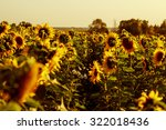 Beautiful Field Of Sunflowers....