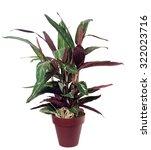 calathea isolated | Shutterstock . vector #322023716