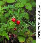Wild Strawberry Bush With Ripe...