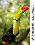 keel billed toucan looking up... | Shutterstock . vector #322070678