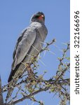 Small photo of Grey african Goshawk sitting on a branch of a camel thorn tree, Etosha National Park, Namibia, Africa