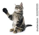 Stock photo maine coon kitten in front of white background 322295555