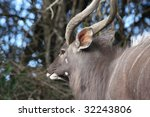 nyala male buck standing in the ... | Shutterstock . vector #32243806