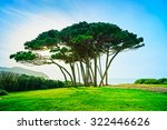 Maritime Pine Tree Group Near...