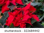 Beautiful Red Christmas Flower...