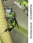 Small photo of Euglossa sp - Green Bee close up - Agapostemon sp. macro photo