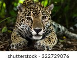 Jaguar On Jungle Floor