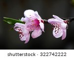 Beautiful Pink Peach Blossom