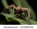 Brown Wolf Spider Eats Red Ant...