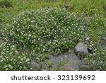 Small photo of Water-cress - Rorippa nasturtium-aquaticum Mass of plants in stream