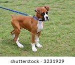 boxer puppy - stock photo