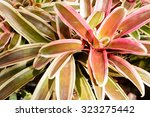 close up of colorful bromeliad...   Shutterstock . vector #323275442