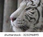 white tiger   Shutterstock . vector #323296895