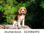 Portrait Of Beagle