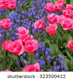 Pink Tulips  And Blue Muscari...