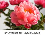 peonies on a white background | Shutterstock . vector #323602235