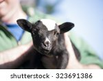 Adorable Black Baby Goat In Th...