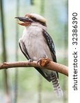 a laughing kookaburra  dacelo... | Shutterstock . vector #32386390