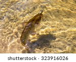 Small photo of Brown Bullhead Catfish (Ameiurus nebulosus) in a transparent water