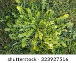 green leaves of dandelion ... | Shutterstock . vector #323927516