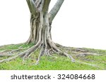 Roots Of A Tree Isolated On...