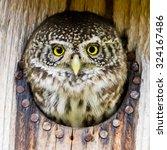 The Eurasian Pygmy Owl ...