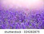 Sunset Over A Violet Lavender...