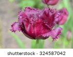 Burgundy  Tulip. Black Jewel...
