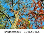 Mountain Ash Tree With Red...