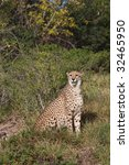 cheetah sitting in the long... | Shutterstock . vector #32465950
