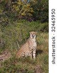 cheetah sitting in the long...   Shutterstock . vector #32465950